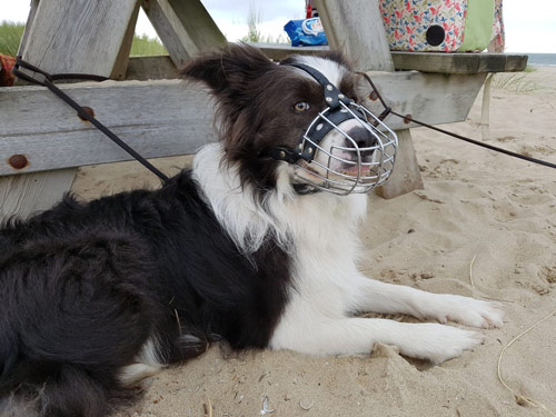 Aggressiver Hund mit Maulkorb