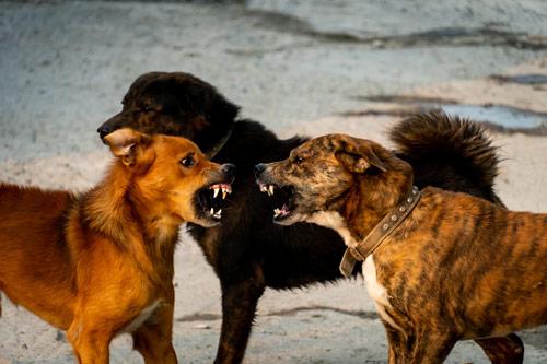 zwei aggressive Hunde
